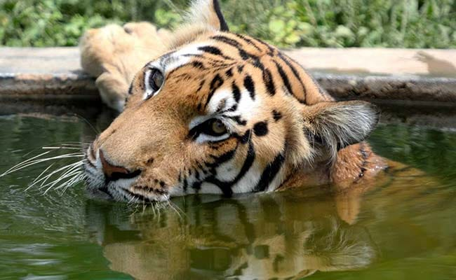 Forest Area Where Tigers Are Found In Madhya Pradesh Double After 4 Years
