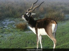 In Madhya Pradesh, Man Arrested For Allegedly Killing Blackbuck