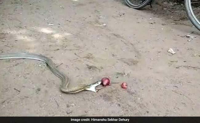 कोबरा ने अंदर से निकाले 11 प्याज, कैमरे में कैद हुआ खतरनाक VIDEO