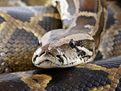 Woman Went Missing In Indonesia Village. Found Inside A Python