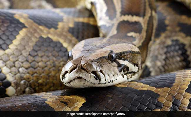 Five-Feet Long Python Rescued From House In Gurgaon
