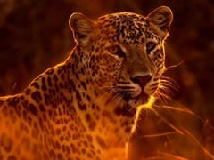 Man-Eating Leopard Shot Dead In Rajaji Tiger Reserve In Uttarakhand