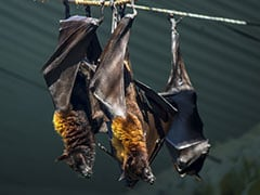 Dead Bats In Himachal Pradesh Not Infected With Nipah Virus: Official