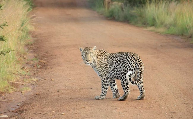 Leopard Grabs 3-Year-Old Boy. Then A Dramatic Rescue By Mother, Granny