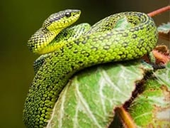 One Arrested With Rare Snake Species Worth Rs 9 Crore In Bengal: Police