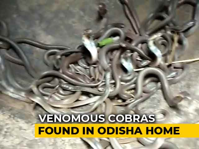 Video : Watch: 111 Baby Cobras Found In Odisha Family's Home