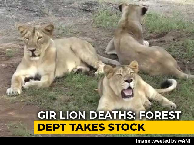 Video : Teams Formed For Lion Rescue In Gujarat After Carcasses Of Big Cats Found