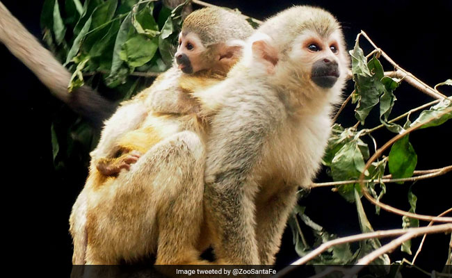 Baby Spider Monkey, Among Most Endangered, Born In Colombian Zoo