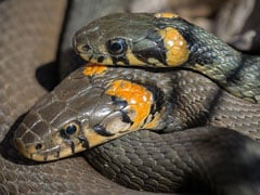 As Temperature Rises In Australia, Snakes Seek Refuge In People's Toilets