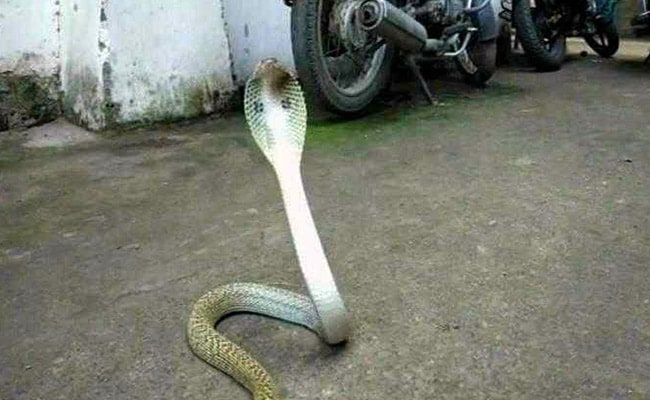5-Foot-Long Cobra Caught In Odisha Hostel
