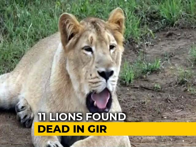 Video : 11 Lions Found Dead In Gujarat's Gir Forest