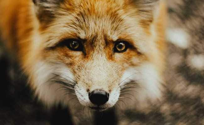 After 3-Year-Long Hunt, London Serial Cat Killer Turns Out To Be A Fox
