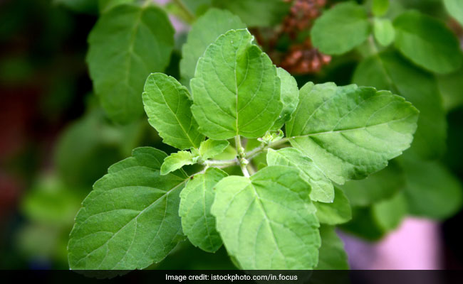 Tulsi Leaves For Diabetes: How To Use Holy Basil To Manage Blood Sugar Levels