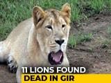 Video: 11 Lions Found Dead In Gujarat's Gir Forest