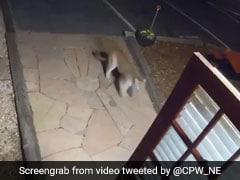 Caught On Camera: Mountain Lion Walks Into Colorado Motel