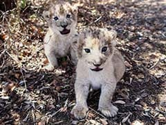 World's First Lion Cubs Conceived Artificially In South Africa
