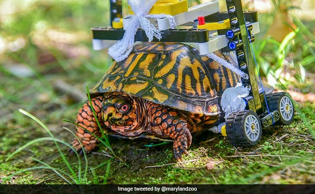 Injured Turtle At Maryland Zoo Now Zooms About In Tiny Custom Wheelchair