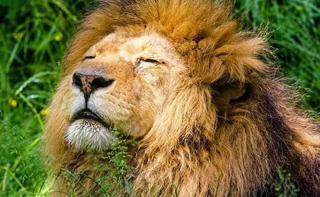 Lion Dies In Nahargarh Biological Park In Jaipur