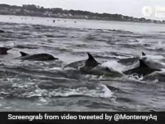 On Video, Hundreds Of Dolphins On Hunt Cut Through California Waters