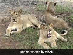 गुजरात: गिर के जंगलों में 11 दिनों में 11 शेरों की मौत, सरकार ने दिए जांच के आदेश