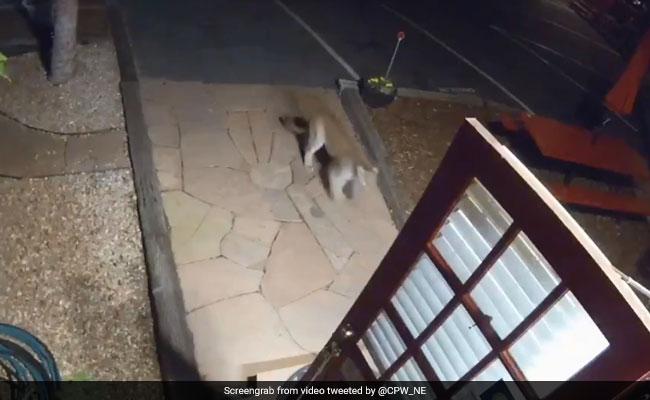 कैमरे में कैद : जब अमेरिका के मोटल में घुस आया एक शेर...