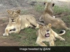11 Lions Found Dead In Gujarat's Gir Forest