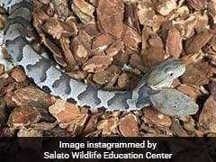 Rare Two-Headed Snake Found In Couple's Home, Now On Display For Public