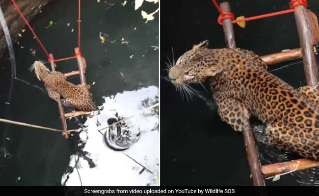 Watch: Leopard Rescued From Drowning In 30-Foot Well In Maharashtra