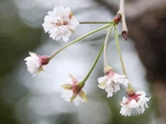 Tickled Pink: Typhoons Trick Japan Blossoms Into Blooming 6 Months Early