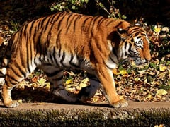 Five Poachers From Kerala, Delhi Jailed, Fined For Killing Tigers: CBI