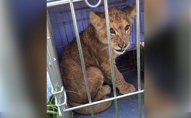 Jogger Finds Lion Cub In Cage, Abandoned In Middle Of Field