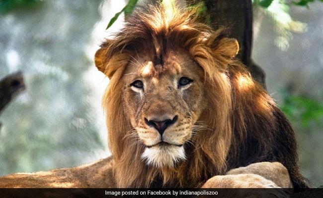 शेरनी ने खत्म किया शेर से 8 साल का रिश्ता, आखिरी सांस तक नहीं छोड़ी गर्दन, 3 बच्चों का था पिता