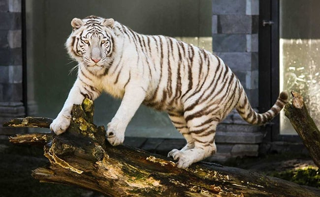 Zookeeper Mauled To Death By Rare White Tiger
