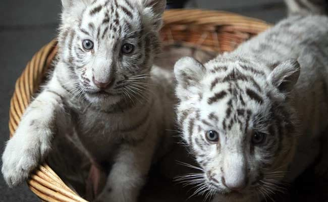 China Purrs Over These White Tiger Triplets