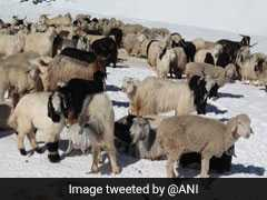 10,000 Livestock Stuck In Himalayas Due To Snowfall Rescued After 3 Weeks