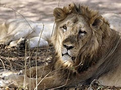 Gir Lioness Found Dead; Big Cat Death Toll Climbs To 30 Since September