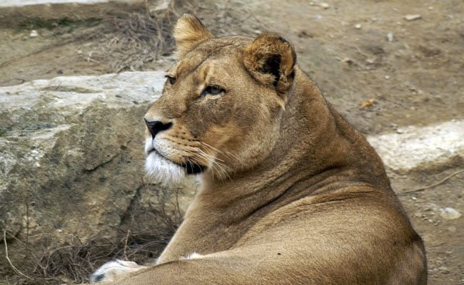 Lioness Found Dead In Gir, Teeth, Nail Marks Found On Carcass