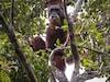 China-Backed Hydro Dam In Indonesia Threatens World's Rarest Orangutan