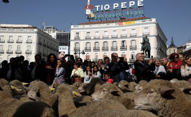 Sheep Replace Traffic In The Heart Of Spanish Capital