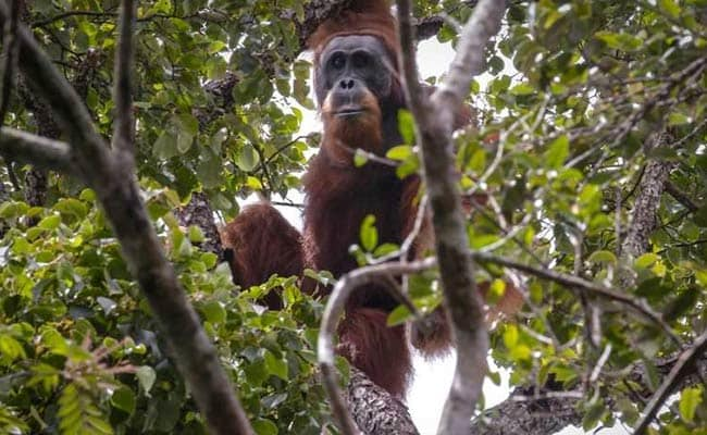 China-Backed Hydro Dam In Indonesia Threatens World's Rarest Orangutan