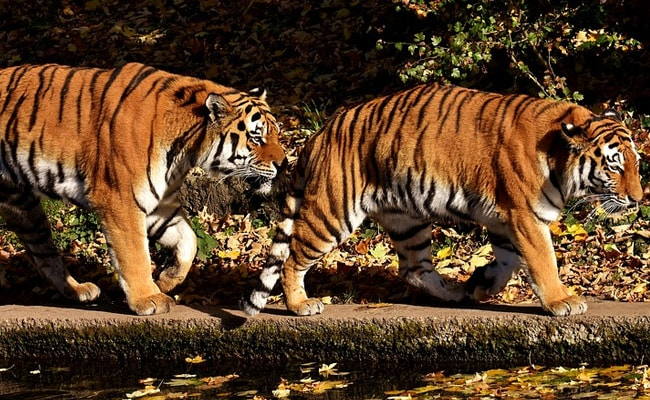 Over 2,300 Tigers Killed, Trafficked In This Century: Report
