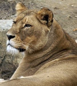 lioness kills father of their cubs her mate of 8 years at