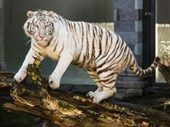 In A Rare Attack, White Tiger Kills Japan Zookeeper