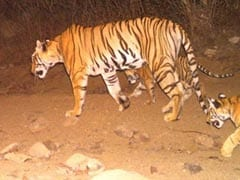 Foreign Media On Killing Of Tigress Avni And Controversy Over The Hunt