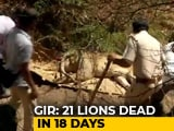 Video : 21 Lion Deaths In 18 Days At Gir, Shocker Blamed On Disease, Fights