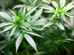 Marijuana Use Linked To Increased Risk Of Heart Problems