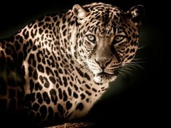 Leopard Rescued In Telangana Dies On Way To Zoo