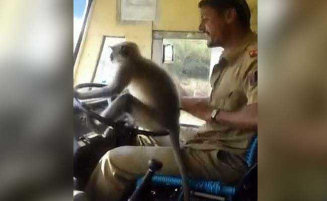जब सवारियों की जान जोखिम में डाल ड्राइवर ने लंगूर के हाथों में थमा दी बस की स्टीयरिंग... देखें VIDEO