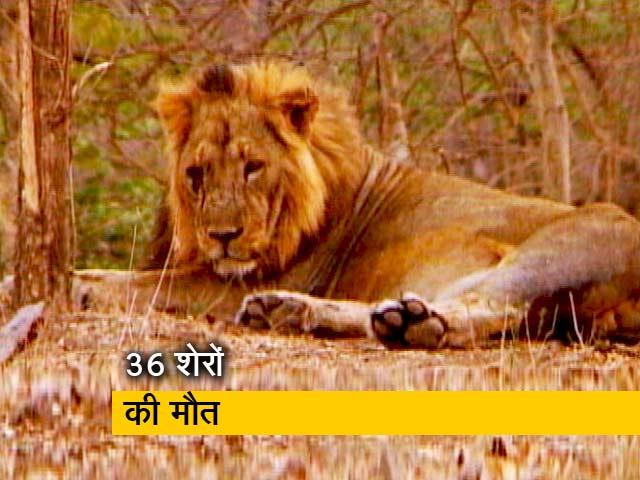 Videos : संकट में गिर के शेर!