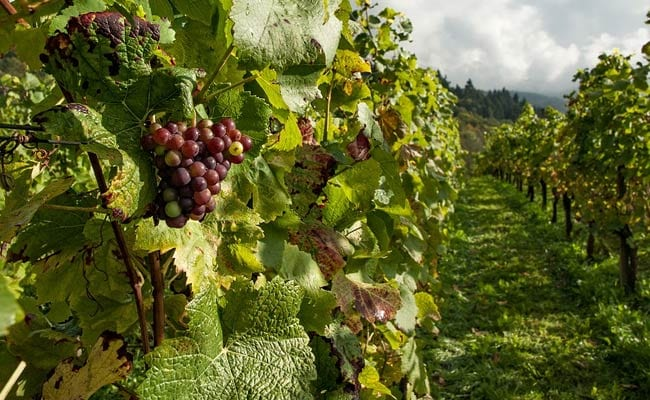 Here's How Thieves Stole An Entire Vineyard Of Grapes
